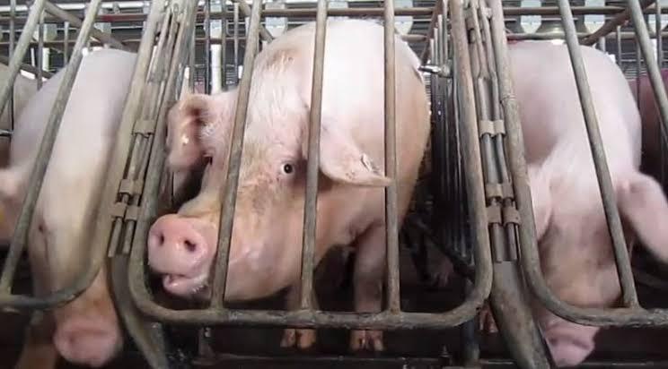 Pig farming Nigeria